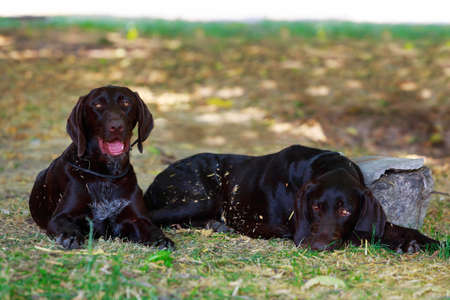 Two dogs breed German Shorthair Pointer close-up Stock Photo