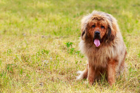 Dog breed Tibetan Mastiff sits on the dry grass Stok Fotoğraf