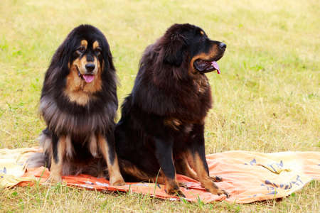 Two dogs breed Tibetan Mastiff sits on the dry grass Stok Fotoğraf