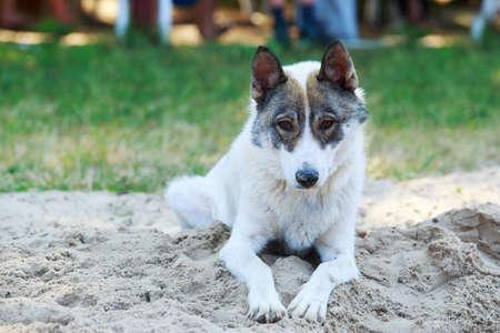 Dog breed West Siberian Laika close up Zdjęcie Seryjne