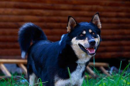 Race de chien Laika de Sibérie orientale close up