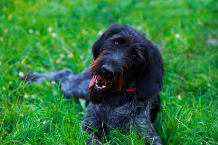 The dog breed Drahthaar on green grass Stock Photo