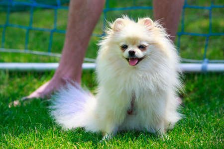 The small Pomeranian Spitz is sitting on green grass
