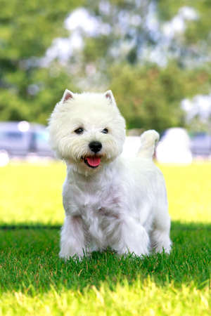 West Highland Terrier stands on the green grass