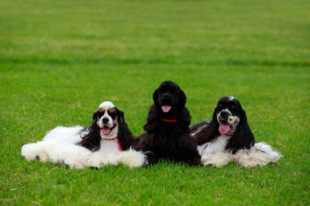 Three American Cocker Spaniel dogs on green grass