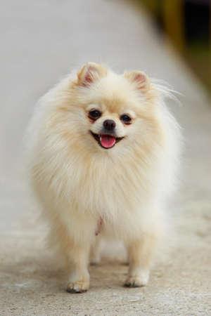 Portrait of a dog breed Pomeranian spitz