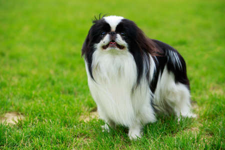 Japanese Chin dog portrait in green grass