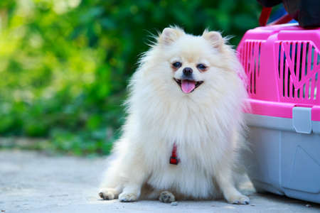 Dog breed miniature spitz on a carrier bag background