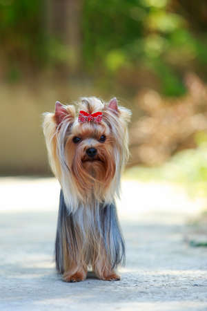 The dog breed Yorkshire terrier close up