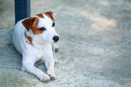 Portrait dog breed of Jack Russell Terrier