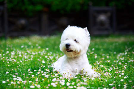 The dog breed West Highland Terrier is lying on green grass Archivio Fotografico - 129074307