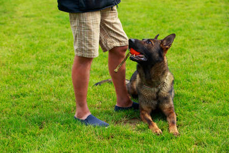 Belgian shepherd malinois lies on green grass with a ball in her mouth