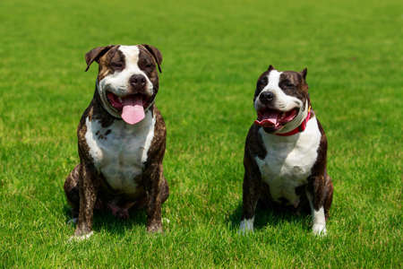 Two dogs of breed English Staffordshire Bull Terrier Stockfoto
