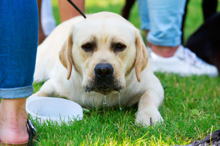 Dog breed Labrador Retriever lying on the grass Stockfoto