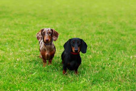 Two dog breed dachshund on the green grass