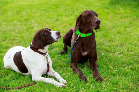 Two dog breed German Shorthair Pointer a close up Stockfoto