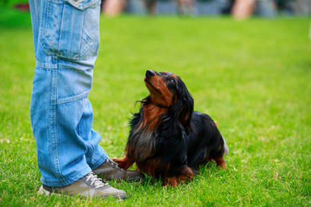 Dog breed dachshund on the green grass