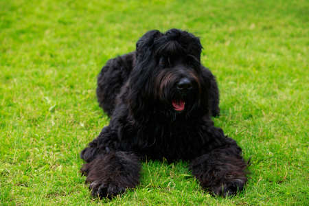 Dog breed Russian Black Terrier lying on green grass Stockfoto