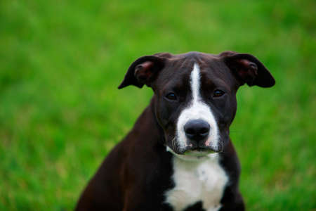 Dog breed American Staffordshire Terrier a close-up on green grass Stockfoto