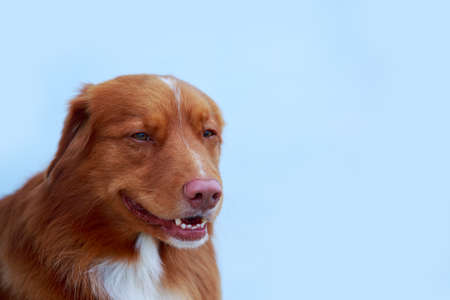Dog breed nova scotia duck retriever on a blue background Stockfoto