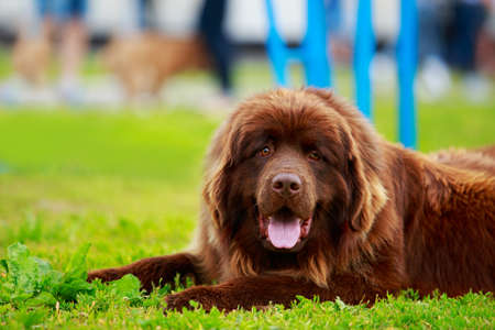 Portrait of nice Newfoundland in the garden Stockfoto