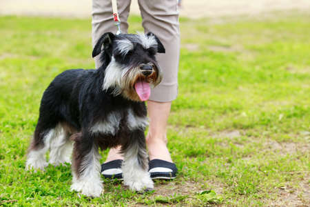 Portrait of nice miniature schnauzer in the garden Stockfoto