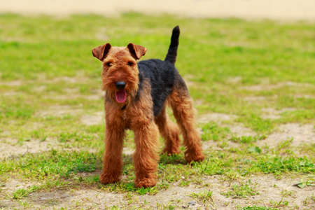 Portrait of nice airedale terrier in the garden Stockfoto