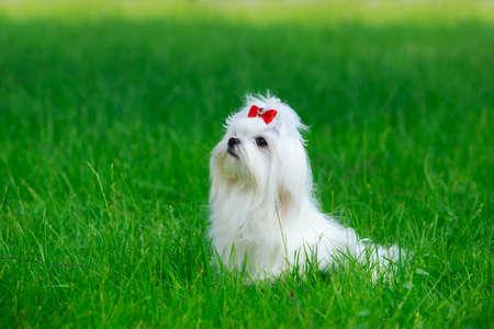 Netter maltesischer Hund, der im grünen Gras sitzt Standard-Bild