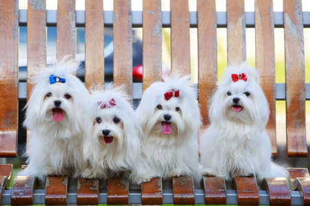 Four dogs of breed Maltese on a wooden bench