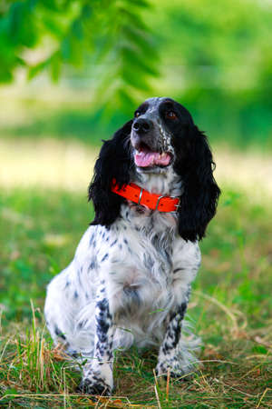 Dog breed Russian hunting spaniel sitting on the grass