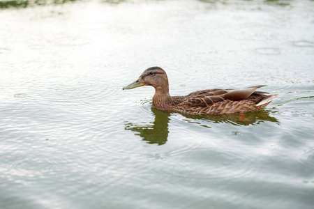 Duck on the water pond in summer close up