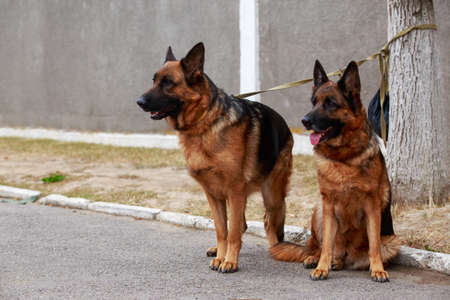 Two dogs breed German Shepherd resting in the park