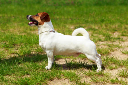 Dog breed Jack Russell Terrier close up