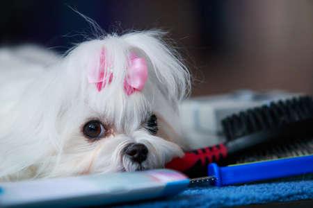 The cute dog breed Maltese is resting Standard-Bild