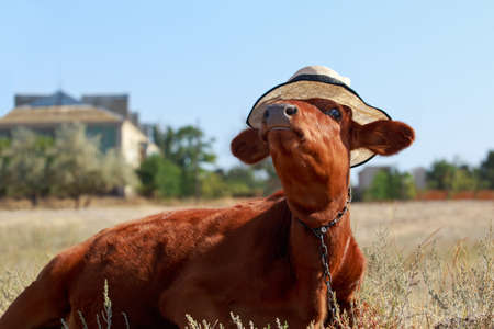 Young calf with a hat in a meadow