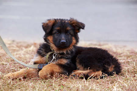 little puppy breed German Shepherd resting in the park