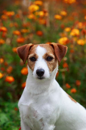 Dog breed Jack Russell Terrier close up against the background of flowers Stok Fotoğraf