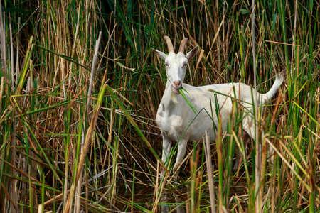 Portrait of white goat a close up Reklamní fotografie