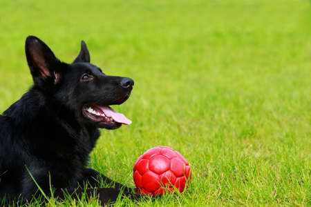 Dog breed German Shepherd with a red ball on green grass Imagens