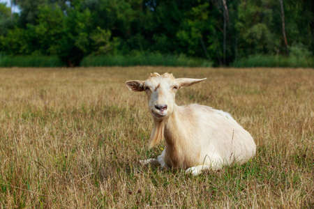 One big beautiful goat in the meadow