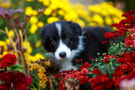 Little puppy breed Border Collie in the flowers