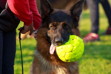 Dog breed German Shepherd with a sports ball in his mouth