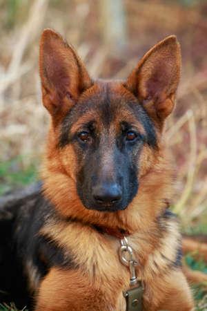 Portrait of dog breed German Shepherd a close-up