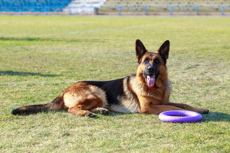 Dog breed German shepherd lying in the stadium with a trenuvalnym projectile