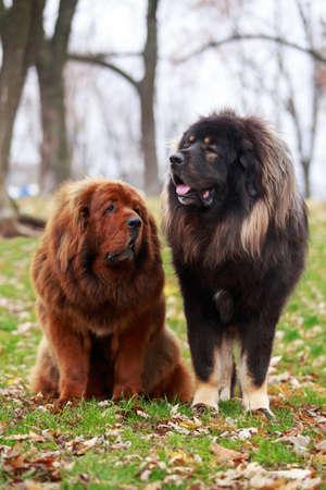Two dogs breed Tibetan Mastiff on the grass