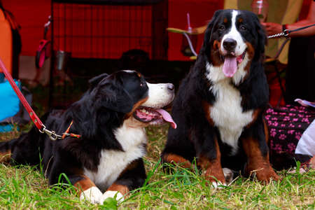 Two dogs breed Bernese Mountain on the green grass Stock Photo
