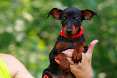 Small puppy of dachshund breed on hands