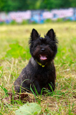 Dog breed Norwich sitting in the park Banco de Imagens