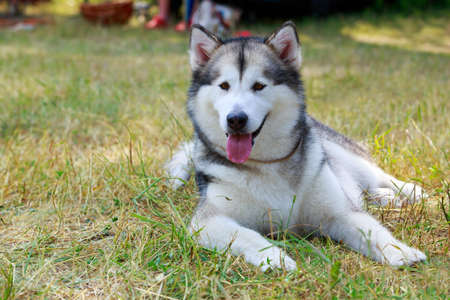 Dog breed Alaskan Malamute lying on the dry grass Banco de Imagens
