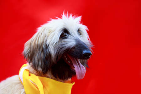 Portrait of nice Afghan hound on a red background Banco de Imagens